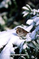 01579-001.20 Fox Sparrow (Passerella iliaca) in winter, Marion Co.   IL