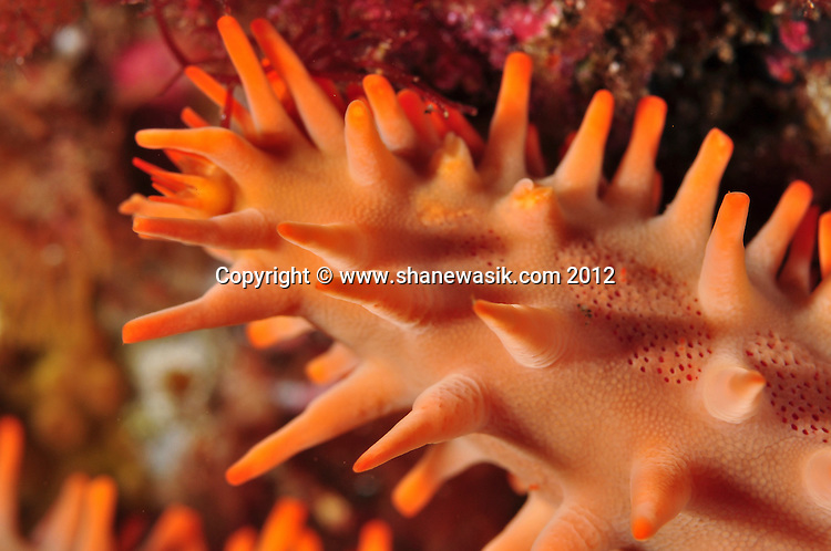 Close up of a starfish arm, foraging for food. Taken at Denham Bay, Raoul Island, Kermadecs.