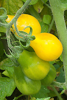 Tomato Yellow Pear growing on plant, ripening stages from green to yellow gold