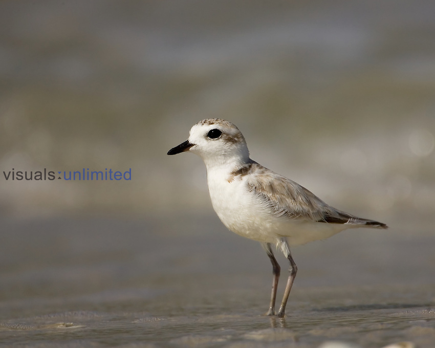 Snowy Plover ,Charadrius alexandrinus,, a threatened species. North America.