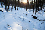 Northern hardwood forest in winter at sunrise, Hopkins Memorial Forest, Williamstown, Berkshires, Massachusetts