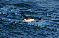 Laysan Albatross (Phoebastria immutabilis) dynamic soaring over open ocean. Gray's Harbor County, Washington. October.