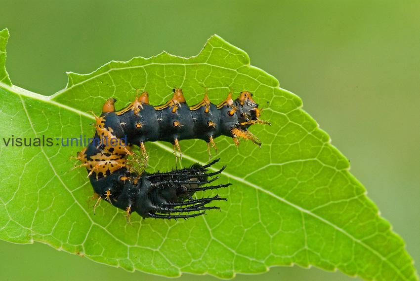 Royal Moth second instar caterpillar (Citheronia hamifera). Ecuador.