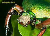 1C37-513p  Scarab Beetle, Eudicella smithii, Africa