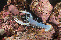 Europäischer Hummer, Homarus gammarus, Homarus vulgaris, common lobster, European clawed lobster, Maine lobster, Le homard européen