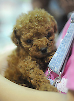 A miniature tea cup poodle one of the most common pets in dogs in Japan. They sell for up to 4000 pounds. .  Japan kills over 200,000 cats and dogs annually by gassing them with carbon dioxide...photo by  / Sinopix...photo by  / Sinopix............