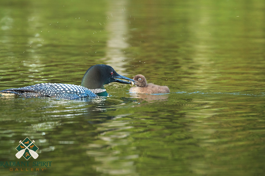 """Loon Chick Feeding"" <br />