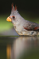 Pyrrhuloxia (Cardinalis sinuatus), female bathing, Rio Grande Valley, Texas, USA
