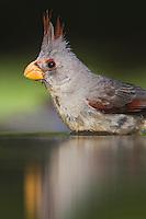 Pyrrhuloxia (Cardinalis sinuatus), female bathing, Rio Grande Valley, Texas, USA