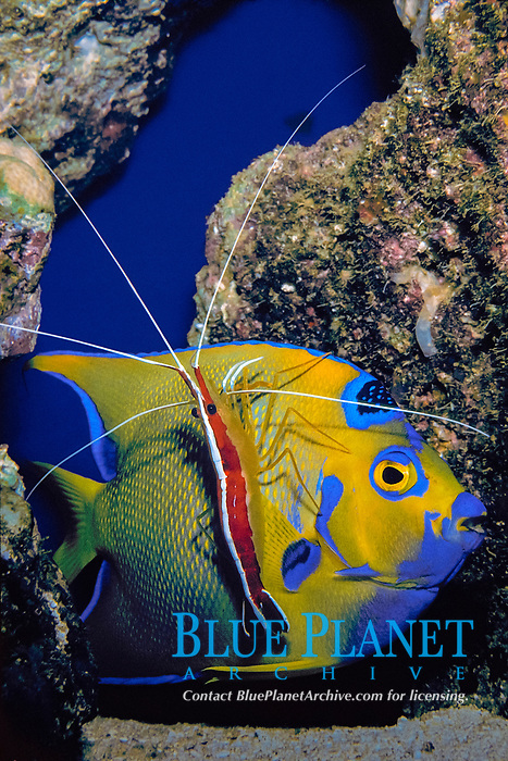 scarlet lady cleaner shrimp or scarlet-striped cleaning shrimp, Lysmata grabhami, cleaning parasites from young queen angelfish or yellow angel fish, Holacanthus ciliaris (c), Bahamas, Caribbean, Atlantic