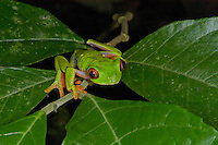 A Parachuting Red-eyed Leaf Frog, Agalychnis saltator, in Costa Rica