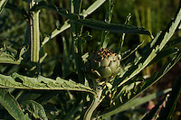 An artichoke plant growing in an organic allotment garden in Cambridgeshire.