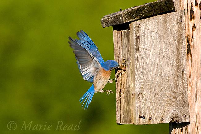 Eastern Bluebird (Sialia sialis), male bringing food to nestbox, New York, USA