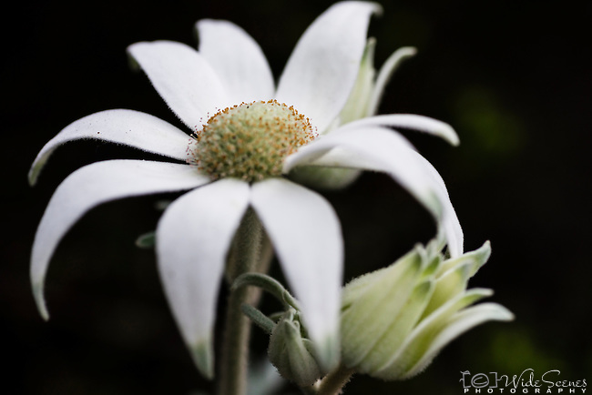 Flannel flower. Native Australian plant found on Henry Head walk in Kamay Botany Bay National Park, La Perouse, Sydney NSW Australia