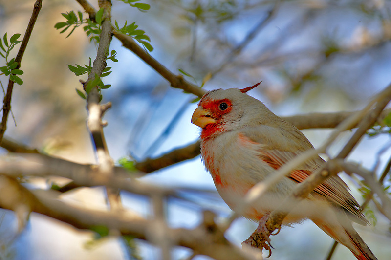 Cardinal hybryd. Arizona-Sonora Desert Museum. Arizona