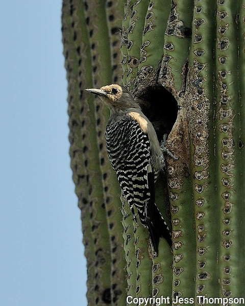 Gila Woodpecker, Arizona