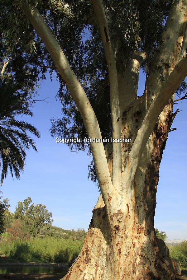 Israel, Sea of Galilee, Eucalyptus tree in Ein Noon