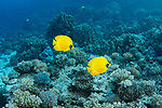 Bluecheek butterflyfish-Poisson papillon jaune (Chaetodon semilarvatus) of Red Sea, Egypt.