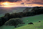 Oak trees, cows and green grass on hills over valley in spring at sunset, Briones Regional Park, Contra Costa County, California