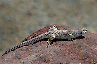 438500001 a wild desert iguana dipsosaurus dorsalis perches on a rock in darwin canyon inyo county california