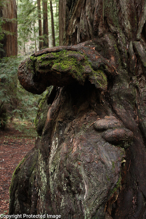 A gnarled burl grows at the base of a redwood in Montgomery Woods above Ukiah in Mendocino County in Northern California.