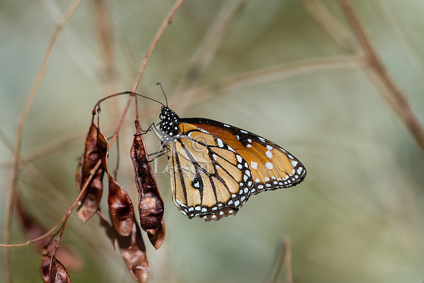 Queen butterfly (Danaus gilippus) on seedpods.  Southern California Sonoran Desert.  Queen butterflies are found across the southern U.S. south to Argentina.
