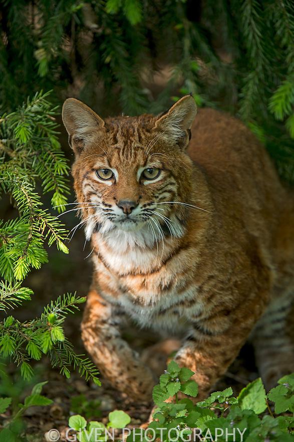 Bobcat in forest, Washington