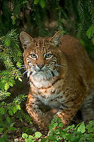 Bobcat in forest, Washington