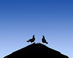 Silhouette of two birds singing on a roof.