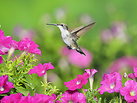 Ruby-throated Hummingbird (Archilochus colubris), female in flight feeding on Petunia  flowers, Hill Country, Texas, USA, North America