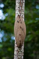Parauapebas_PA, Para...Floresta Nacional de Carajas, Para. Na foto uma colmeia de marimbondos...Carajas National Forest , Para. In the photo a hive of hornets...Foto: JOAO MARCOS ROSA / NITRO