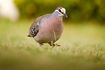Common Bronzewing (Phaps chalcoptera) male, Jervis Bay, New South Wales, Australia