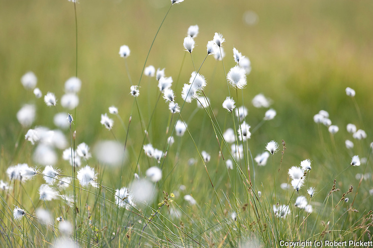 Cotton Grass, Eriophorum angustifolium, Kuhmo, Finland, Lentiira, Vartius near Russian Border,