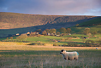 View of Blindhurst at the base of Parlick Fell with Lonk ewe in the foreground, Bleasdale, Lancashire.