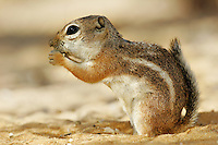 White-tailed Antelope Squirrel, Pioneertown, Mojave Desert, California.