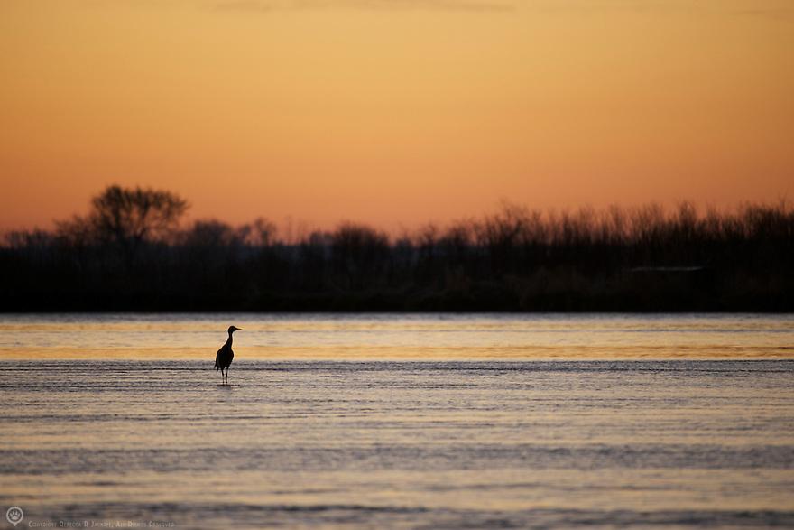 North America, United States, Nebraska, Wood River, Platte River. Solitary Sandhill Crane