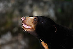 Malayan Sunbear-Honey Bear-Helarctos malayanus