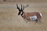 Pronghorn, Grand Teton National Park
