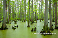 63895-14615 Bald Cypress trees (Taxodium distichum) Heron Pond Little Black Slough, Johnson Co. IL
