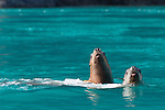 Stellar Sea Lions in the Inian Islands in Alaska's Inside Passage, Alaska, USA