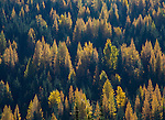 Idaho, Northern, Bonners Ferry. Hillsides covered in fir and western larch in the Selkirk Mountains in autumn.