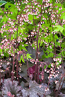 Heuchera sanguinea 'Geisha's Fan' in flower