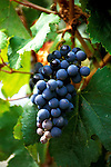 California: Wine grapes, Napa Valley..Photo copyright Lee Foster, 510/549-2202, lee@fostertravel.com, www.fostertravel.com..Phooto #: caitin103
