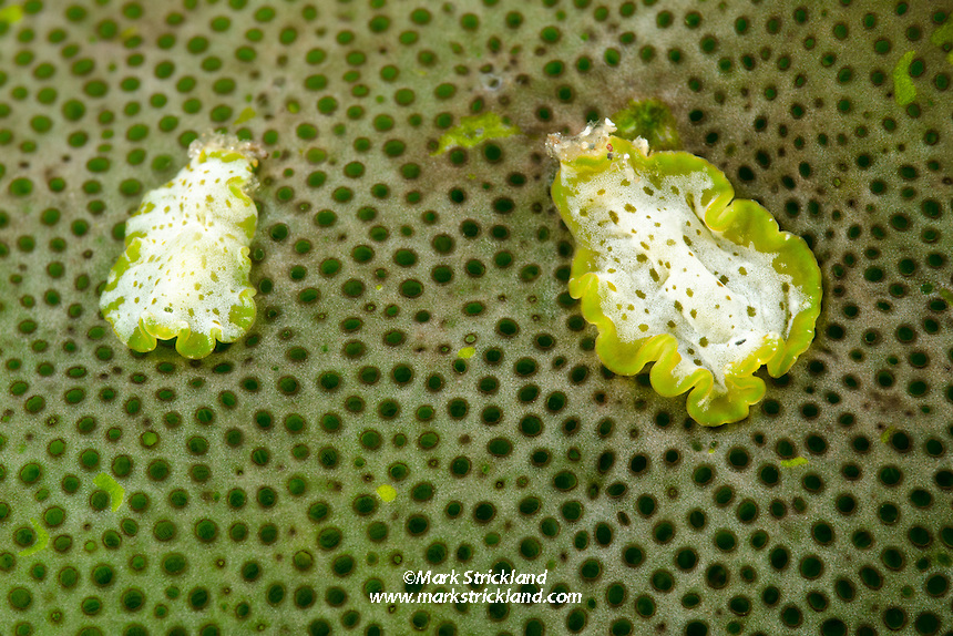 Unidentified flatworms, living on a Grecian Urn Tunicate, Didemnum molle. Alor, Indonesia, Indian Ocean