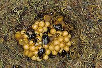 Wiesenhummel, Wiesen-Hummel, Nest, Hummelnest, mit Kokons der Geschlechtstiere, Bombus pratorum, syn. Pyrobombus pratorum, early bumble bee