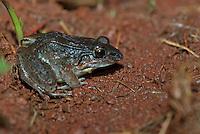 Leptodactylus insularum