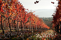Sagrantino vineyards of the Montefalco region in Umbria, Italy