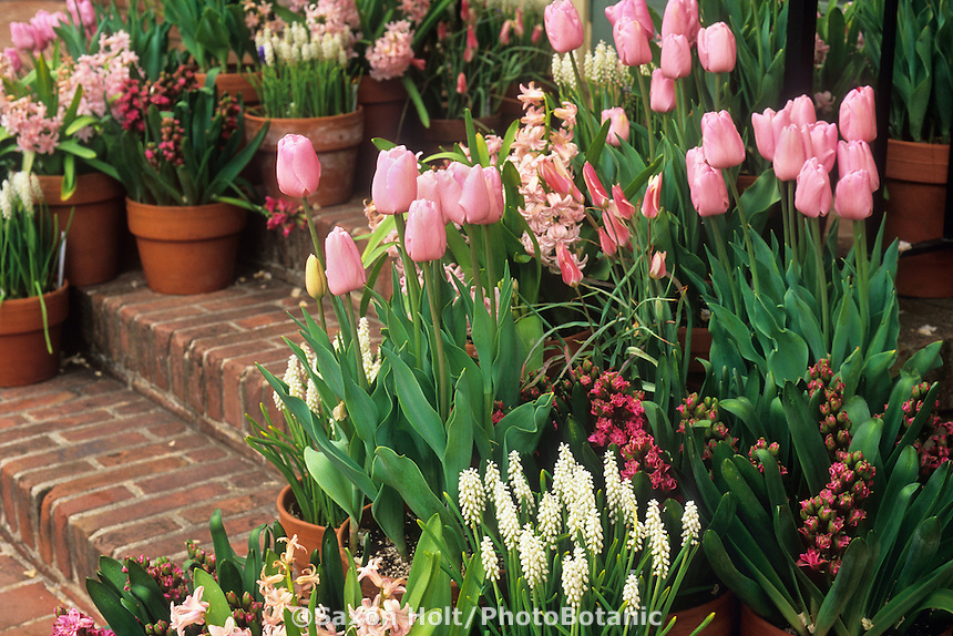 Terracotta containers of spring bulb flowers on brick steps entry to patio garden