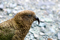 Kea at Homer Tunnel, New Zealand