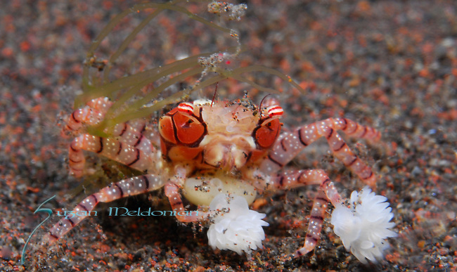 Mosaic Boxer crab, Lybia tesselata, Underwater macro marine life images;  Photographed in Tulamben; Liberty Resort; Indonesia.Underwater Macro Photographer on FB 2nd Annual event